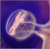 Эмбрион на пятой неделе беременности