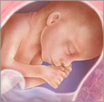 Плод на двадцать четвёртой неделе беременности