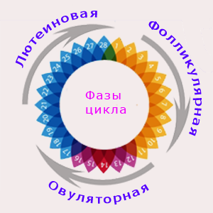 Лютеиновая и фолликулярная фаза